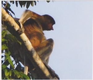 A pesky proboscis monkey.