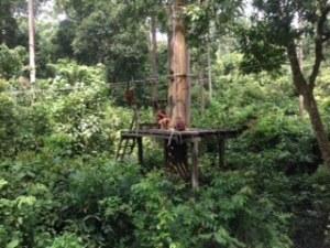 Watching the orang-utans at the Sepilok Orangutan Rehabilitation Centre.
